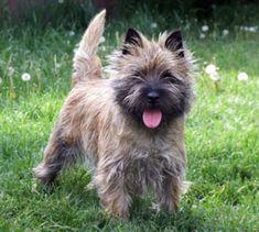 Quarrydene Cairn Terriers