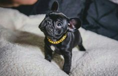 frenchi puppi, french bulldogs, bulldog puppies