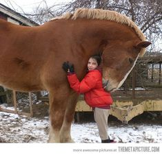 Belgian Draft....biggest horse ever. This is like a dinosaur. It could swallow you in 5 seconds. I feel like I would never touch it let alone get all cozy under its 8000 lb head. No.