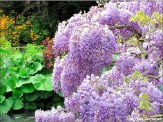 Monet's Wisteria...simply gorgeous