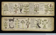 Tibetan Herbarium, 12th century