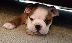 Stanley the Bulldog