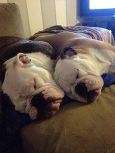 English Bulldogs ❤ Cuddle buddies!