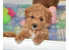 Akc Mini/toy Parti Poodle Puppies