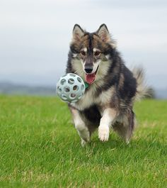 The Utonagan is a breed of dog that resembles a wolf is a mix of Alaskan Malamute, German Shepherd, and Siberian Husky.