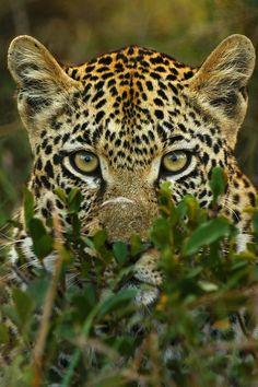 **Leopard Intensity  Photo by Rudi Hulshof