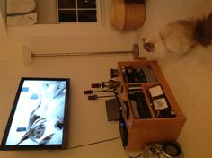 """Miley watching the Westminster kennel club dog show!  Her first time """" watching"""" TV."""