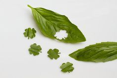 four leaf clovers punched from basil leaves. St. Patricks Day idea. Sprinkle on pizza or other dishes. could also do with mint for mojitos!