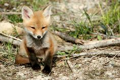 Baby Fox!