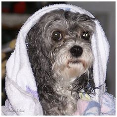 Malti-poo, Belle, after a shower ... by JhC #Dog #Pet