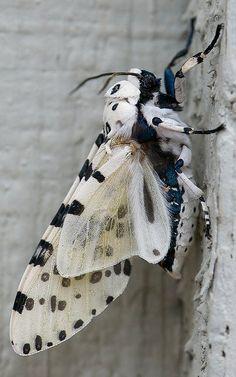 Giant leopard moth.. Austin, Texas, U.S