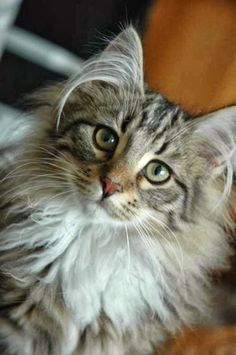 Is Norwegian Forest the largest Cat Breed? Click to read