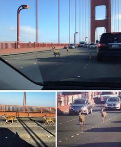 Deer crossing the Golden Gate http://www.liveleak.com/view?i=da9_1410000423  http://www.reddit.com/r/pics/comments/2fnisk/just_a_couple_of_deer_crossing_the_golden_gate/  http://www.reddit.com/r/pics/comments/2fnyi1/today_there_were_deer_on_the_golden_gate_bridge/ http://www.reddit.com/r/pics/comments/2fo6kd/earlier_today_the_golden_gate_bridge_had_some/