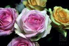 Roses Pink Illussions