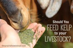 feeding kelp to animals