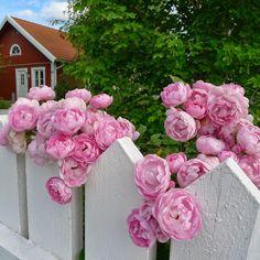raubritt rose