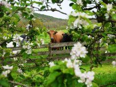 anim, fenc, murmur cottag, countri life, farm life