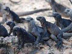 Iguanas, Las Islas Galapagos