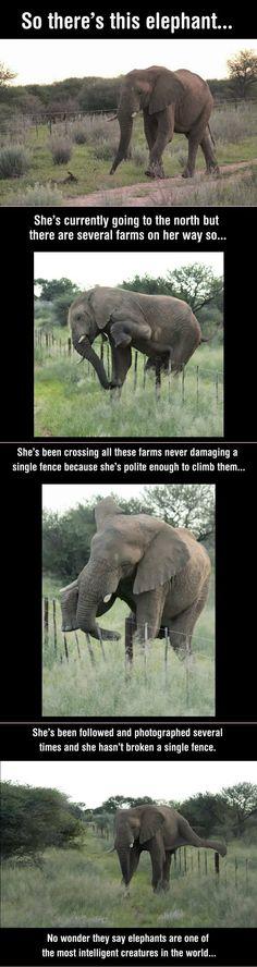 Elephant Crosses Fences, without damaging a single one