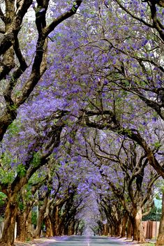 Jacaranda trees, Pretoria ** Usually around October, the best time to be in Pretoria