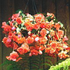 'Fresh Apricot' Hanging Basket Begonia