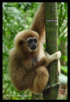 Phuket, Thailand -- Gibbon Rehabilitation Project.     Cute!