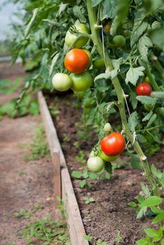 Growing Organic Tomatoes #food #edible #vegetable #gardening