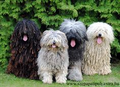 Hungarian Puli Sheep Dogs.... loooove the way one can only really see 4 pink tongues hanging out!!!!