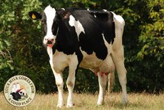 Meet the Holstein cow! She is the best known of the dairy breeds, with her black-and-white spotted body.