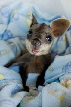 Baby Wallaby...OMG!!!!!!!!!!!!!!