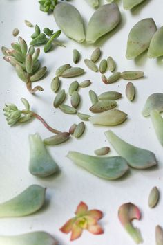 Propagating Succulents from Leaves 2