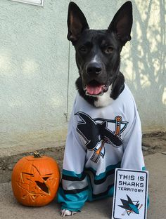 Cooper the Sharkdog is ready and prepared for this years #Sharkoween.