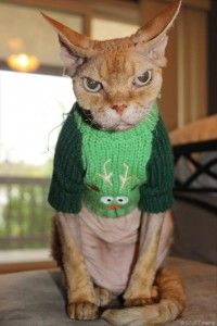 angry cat wearing a sweater christmas parties, funny animals, grumpy kitty, funny animal pictures, funni, hilarious pictures, christmas sweaters, cousin, grumpy cats