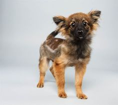 puppies, papillons, papillon mix, one direction, puppi bowl, 12 weeks, hair, dog breeds, bowls