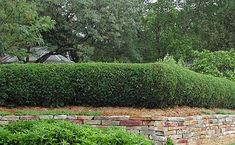 """List of hedging plants by height. The hedge pictured is Arborvitae """"Techny Globe"""" hedge planting, hedg plant"""