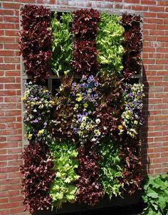Vertical lettuce.