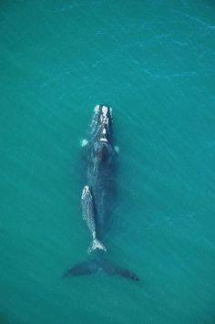 56 whales and their babies in Santa Catarina, Brazilian coast, 2007 / Helga Zimmermann <3