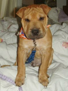Shar Pei Pit Bull Mix | Oscar the Chinese Shar-Pei / Lab mix, a ...