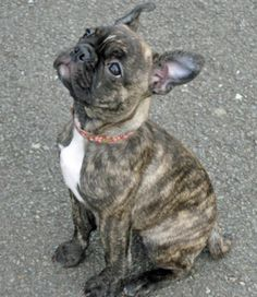 french bull dog and a boston terrier = Frenchton colour brindle More