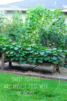 sweet potato bushes. how to garden on link. never bend over or weed again.