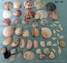 Crafting shells for diy projects...sea shell supply package of 50 by CarmelasCoastalCraft on Etsy