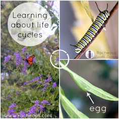 Learning About Butterfly Life Cycles | meaningful learning experiences at home