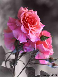 cats, emeralds, pink roses, flower garden, colors, art, gardens, beauty, flowers garden