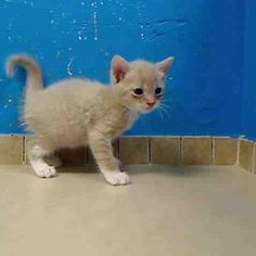TO BE DESTROYED 9/22/12 NY*  My name is FLUFFY. My Animal ID # is A0945765. I am a male crm tiger and white domestic sh mix. The shelter thinks I am about 5 WEEKS old. THIRD AND FINAL CHANCE FOR THIS DARLING