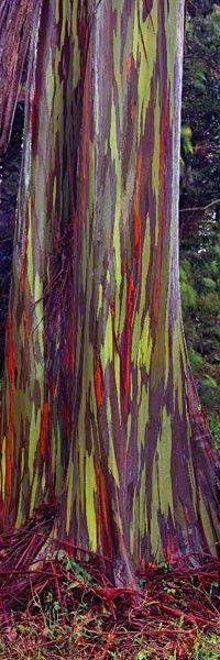 The rainbow eucalyptus grows throughout the Maui rainforests.