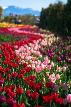Skagit Valley Tulip Festival - Washington state