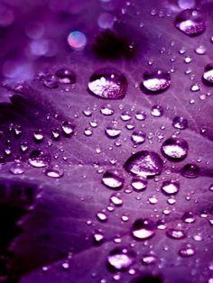 Water Drops On Purple Leaf
