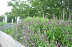 Iranian wood sage is a sun- and heat-loving perennial that is easy on water use and easy on the eyes, and will keep you seeing magenta from June until September.