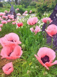 pink poppies<3 gorge Flowers Garden Love