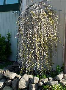 Dwarf weeping pussy willow